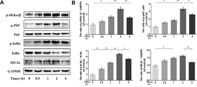 Time-dependent effect of IL-1β on phosphorylation of IKK/IκBα/p65 and HIF-2α expression.