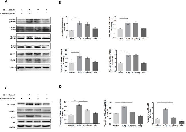 Effect of wogonoside on IL-1β-induced PI3K/AKT activiation.