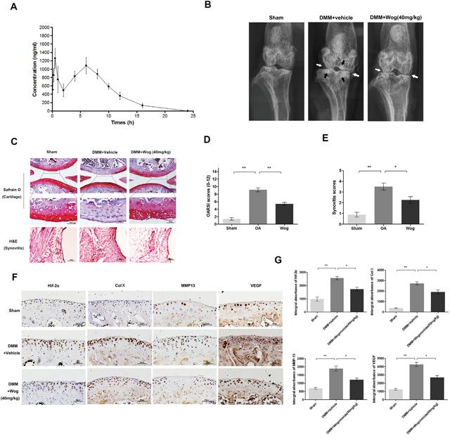 Wogonoside ameliorates OA development in mice DMM model in vivo.