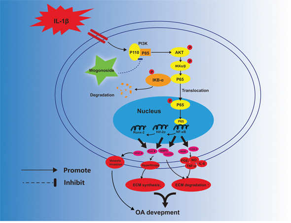 Potential molecular mechanism involved in wogonoside treatment in chondrocytes.