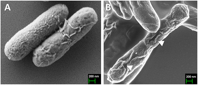 Characterization of JOL1675 S. Typhi ghost cells by scanning electron microscopy (SEM) analysis.