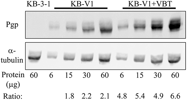 Western blot analysis of cellular P-gp expression.