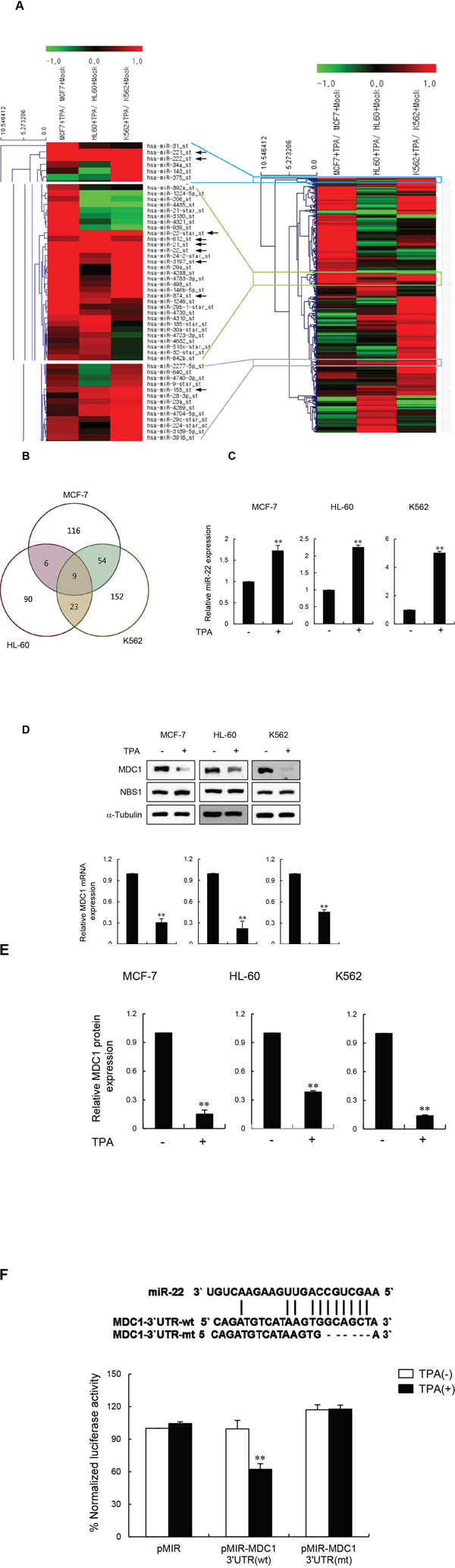 miR-22 downregulates MDC1 expression during terminal differentiation.