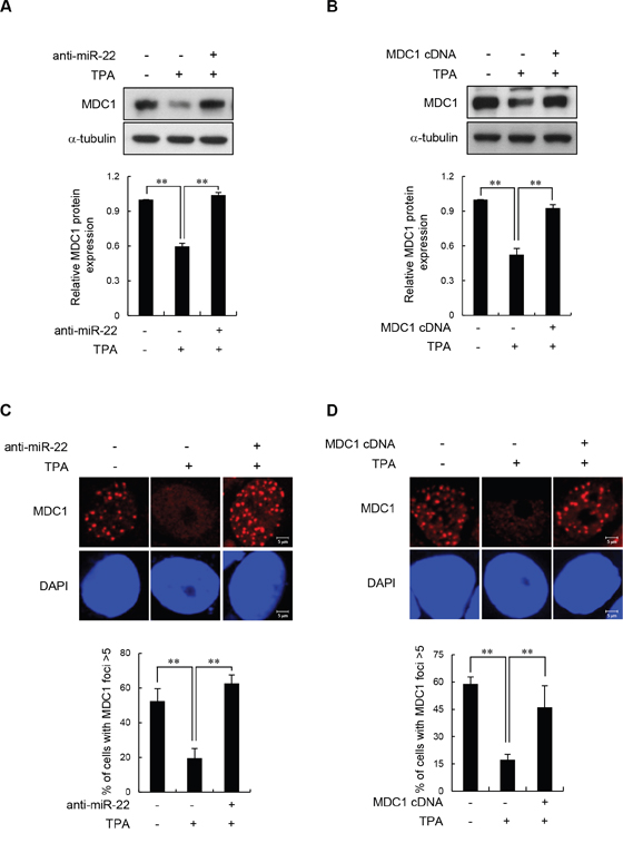Effect of miR-22 on IR-induced MDC1 foci in differentiated MCF-7 cells.