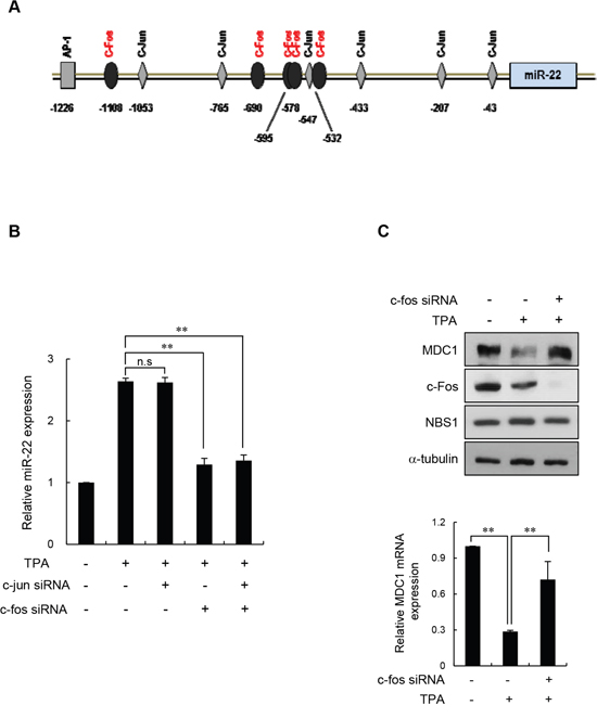 c-Fos negatively regulates MDC1 via miR-22 in differentiated MCF-7 cells.