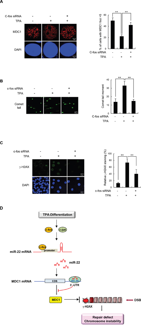 c-Fos knockdown increases IR-induced MDC1 foci and improves DSB repair in differentiated MCF-7 cells.