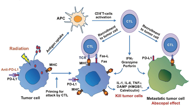 Radiation-induced immune response in cancer therapy.