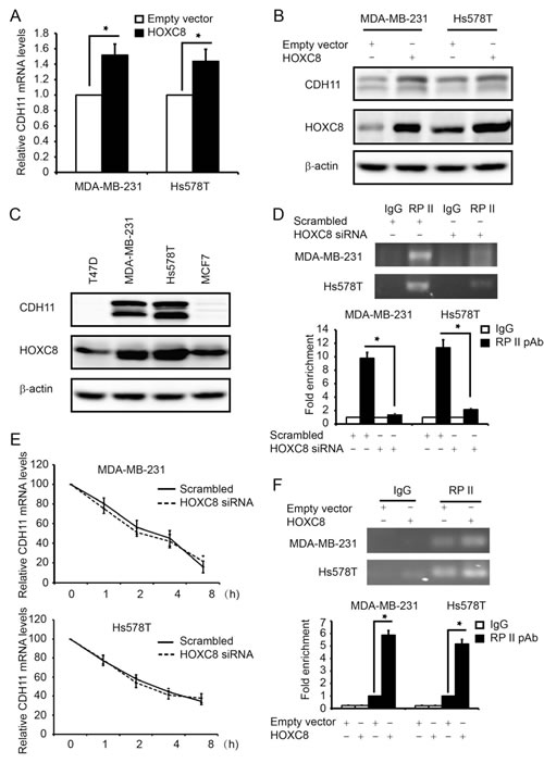 HOXC8 enhances CDH11 transcription in breast cancer cell lines.
