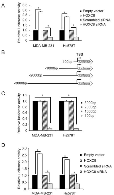 Deletion analysis of the CDH11 promoter.