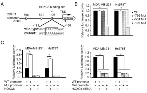 Region containing nucleotides -196~-191 is essential for HOXC8-induced CDH11 promoter activation.