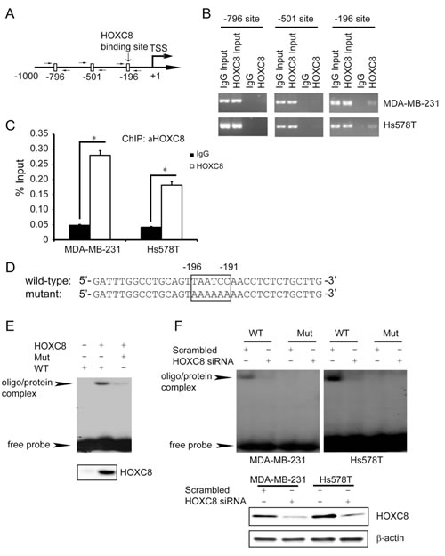 HOXC8 binds directly to CDH11 promoter in vivo and in vitro.