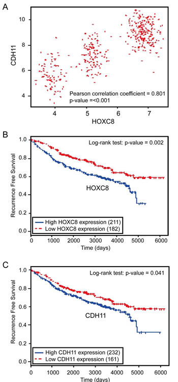 Figure 6:HOXC8 and CDH11 expressions are positively correlated and both are negatively associated with human breast cancer patient survival.