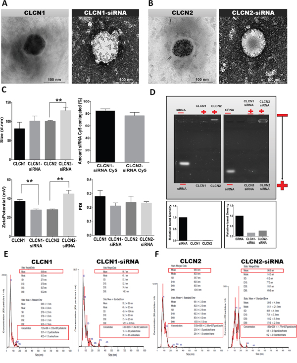 Physicochemical characterization of CLCNs and CLCNs/siRNA complexes.