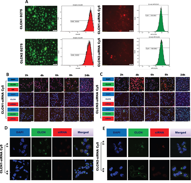 Cellular uptake by flow cytometry analysis and fluorescence microscopy image analysis.