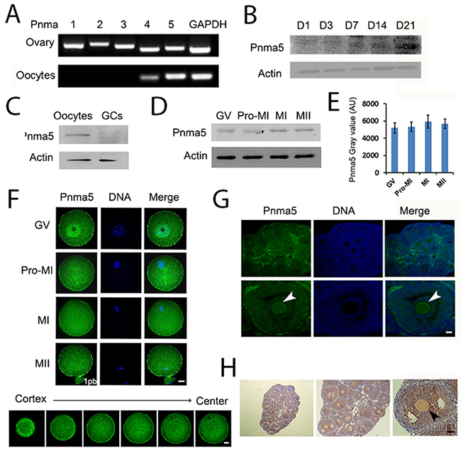 Pnma5 is an oocyte-predominant protein found in the ovary.