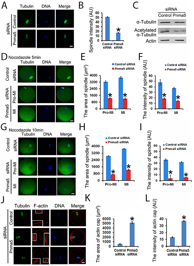 Pnma5 is required for spindle microtubule and F-actin stability.
