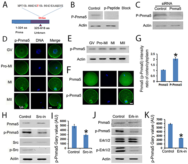 The activity of Pnma5 is regulated by phosphorylation.