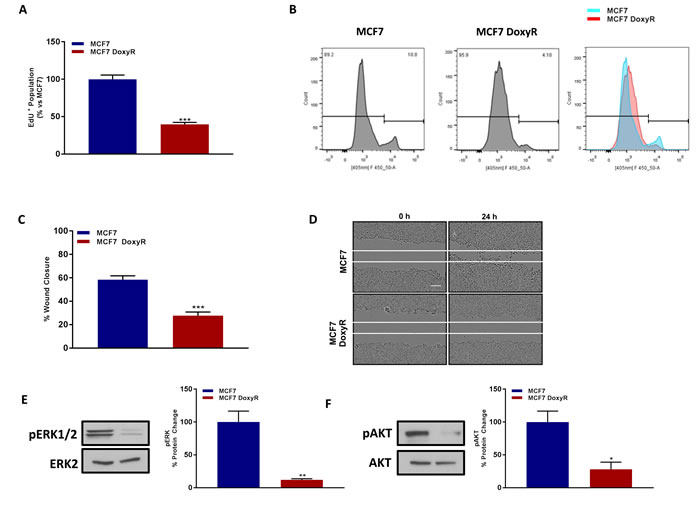 MCF7 DoxyR cells show a quiescent phenotype, with significantly reduced proliferation and cell migration, as well as suppression of ERK- and AKT-signaling.