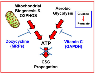 Vitamin C and Doxycycline: A synthetic lethal combination therapy for eradicating CSCs.