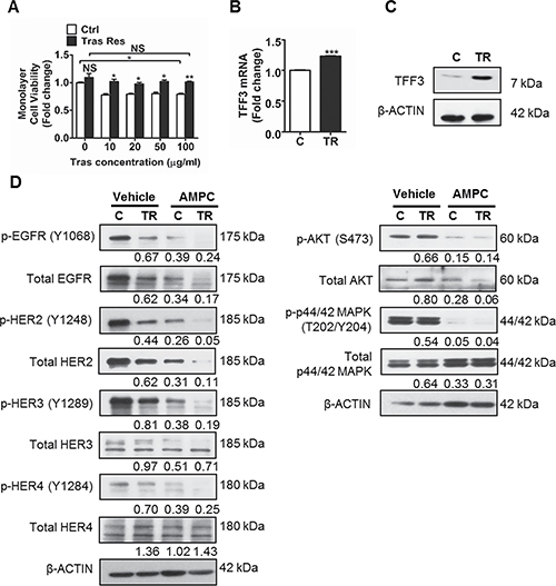 TFF3 is upregulated, while HER signalling is decreased in trastuzumab resistant MDA-MB-361 cells as compared to control cells.