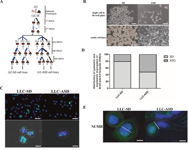 Cancer cells that have high clonogenic and cloning efficiency can undergo SD and ASD divisions.