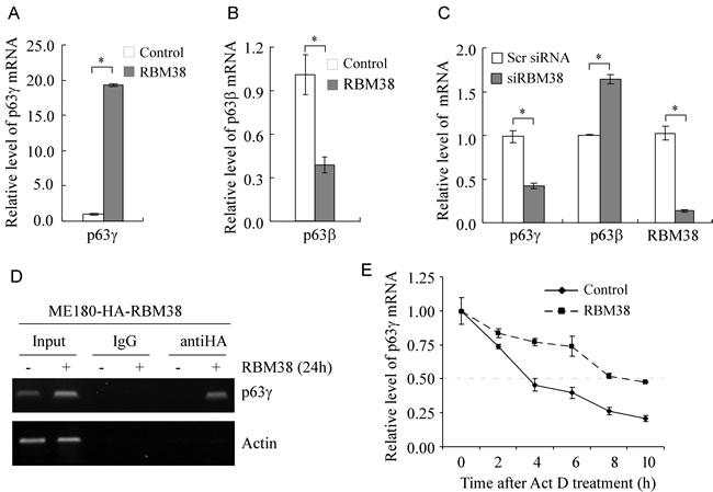 RBM38 regulates p63γ expression