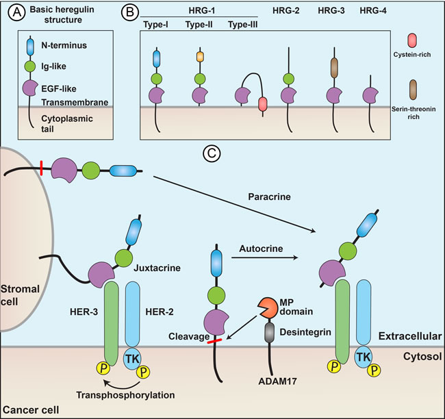 Heregulins act through paracrine, juxtacrine, or autocrine signaling.