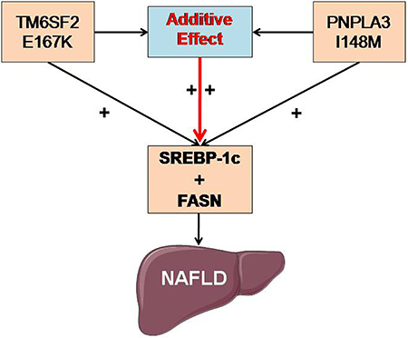 Potential molecular mechanism of the additive effects of the TM6SF2 E167K and PNPLA3 I148M polymorphisms on NAFLD.