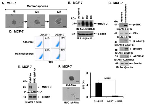 Silencing MUC1 expression attenuates formation of MCF-7 cell mammospheres.