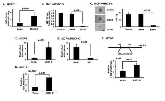 MUC1-C induces mammosphere formation by an NF-κB-dependent mechanism.