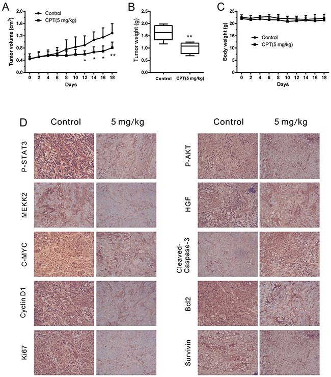 CPT attenuated cell growth while activated cell apoptosis in vivo.