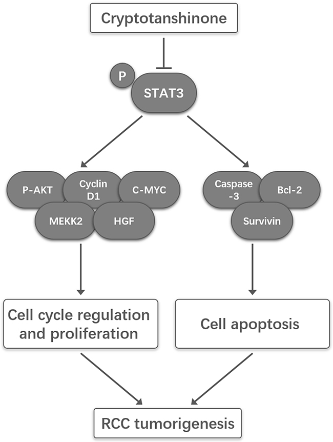 A schematic illustration of the proposed model depicting that CPT inhibited proliferation yet induced apoptosis by suppressing STAT3 signals in renal cell carcinoma.