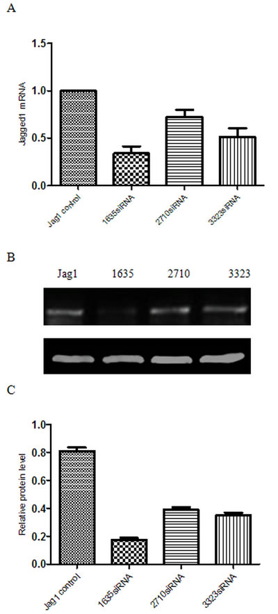 Gene silencing efficiency of different Jagged1 siRNAs.