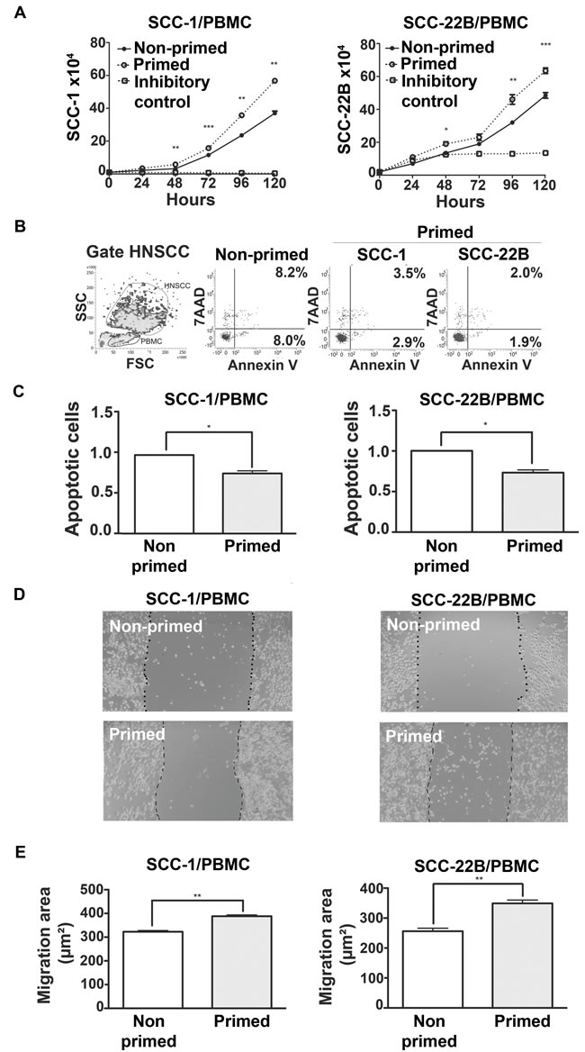 Direct contact between primed PBMCs and HNSCC has pro-tumor effects.