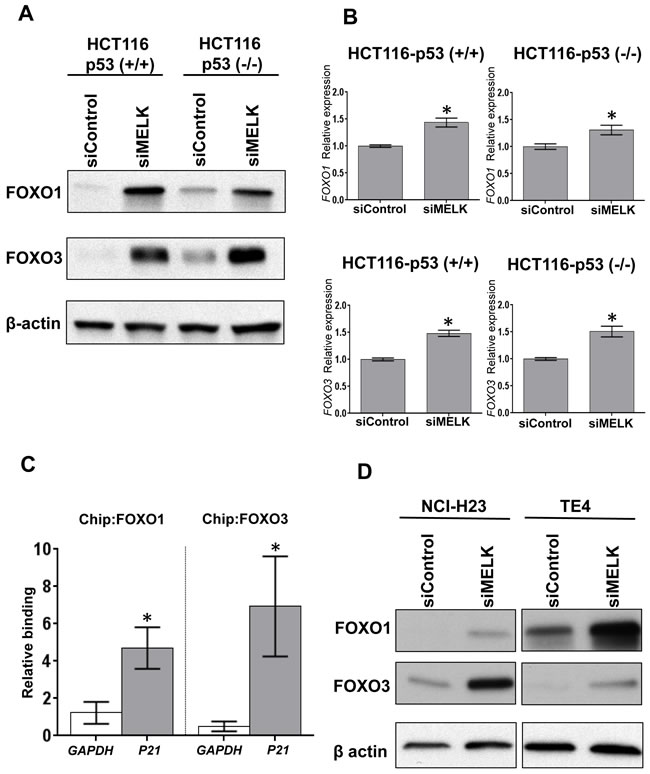 MELK knockdown increases FOXO1 and FOXO3 proteins.