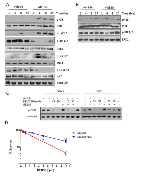 MEB55 modulates stress and survival signaling pathways.