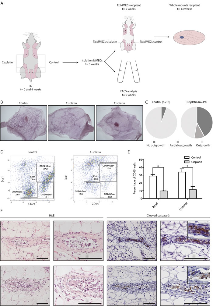 ID cisplatin treatment reduces epithelial viability and leads to an inhibition of mammary gland repopulation.