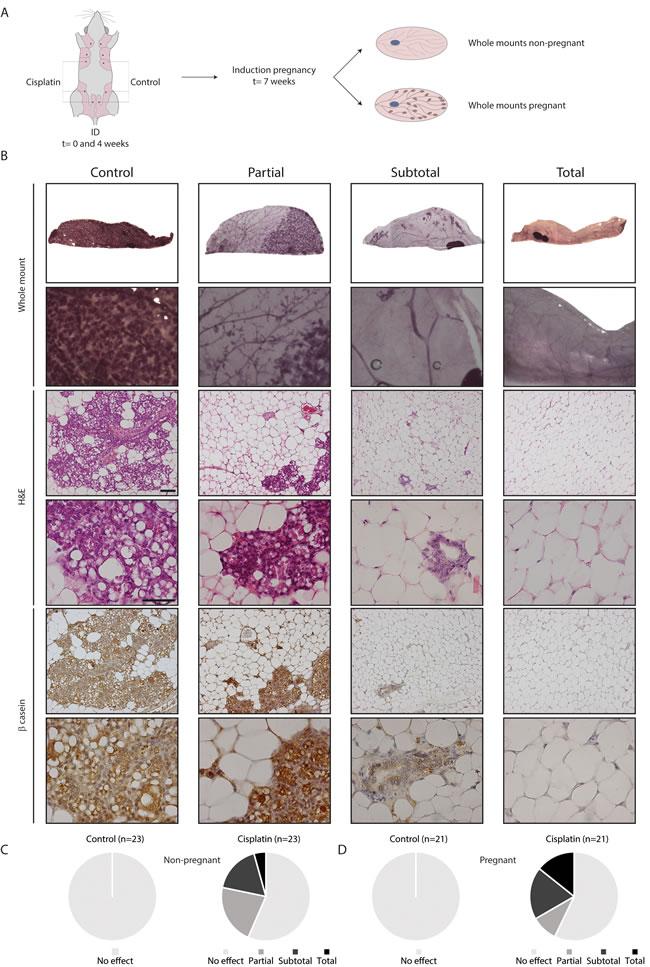 Functional effect of ID cisplatin on the mammary gland and pregnancy-induced lobulo-alveolar development.