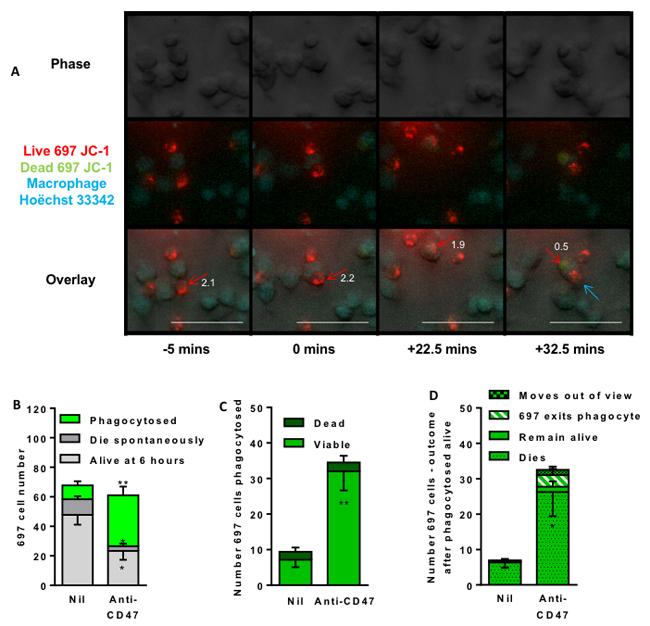 Time lapse imaging indicates that anti-CD47 antibody induces macrophage engulfment of live lymphoblasts.