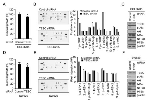 Depletion of TESC attenuates survival of colorectal cancer cells by suppression of NF-κB signaling pathway.