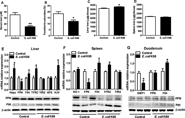 The alteration of serum and tissue iron concentration in E. coli.