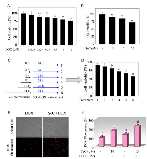 SeC enhances DOX-induced growth inhibition against HepG2 cells through enhanced intracellular uptake of DOX.