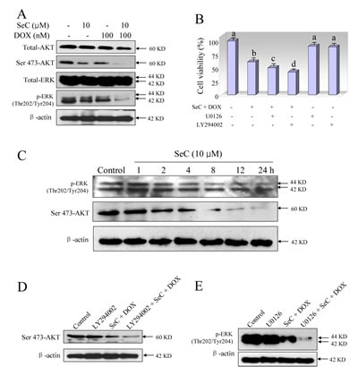 Contribution of ERK and AKT pathways to the combined treatment-induced growth inhibition against HepG2 cells.