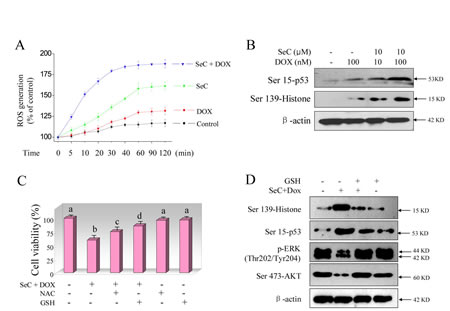 SeC synergizes DOX-induced DNA damage through ROS overproduction.