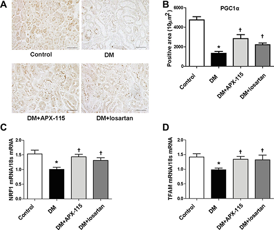 Effect of APX-115 on mitochondrial biogenesis in STZ-induced diabetic mice.