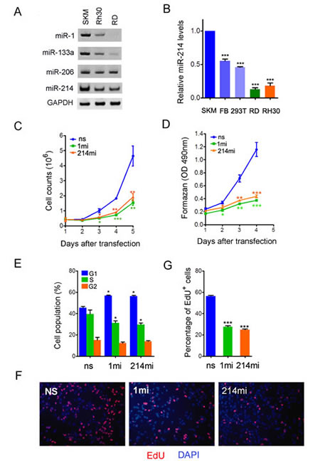 Figure 2:miR-214 is a suppressor of human RMS cell growth.