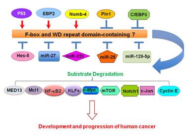 Illustration of upstream regulators that govern FBW7 expression in cancer.