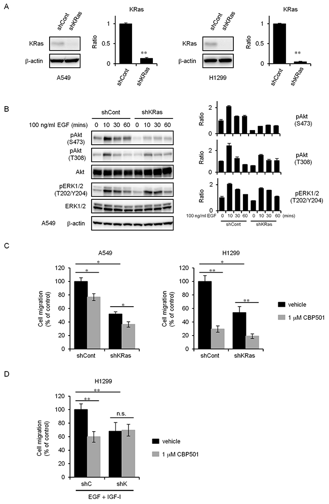 KRas knockdown cells attenuate inhibition of cell migration by CBP501.