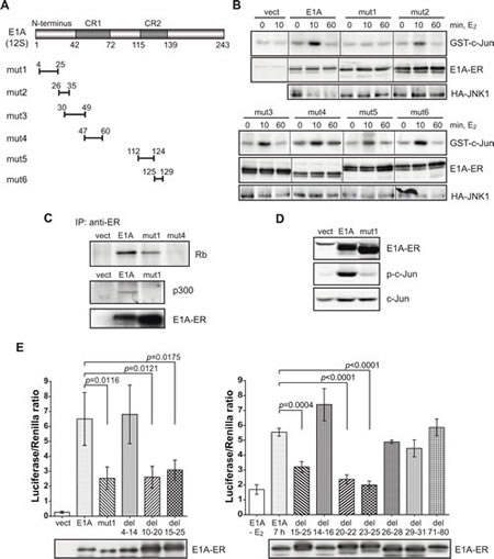 An N-terminal E1A deletion mutant is defective in JNK and c-Jun activation.