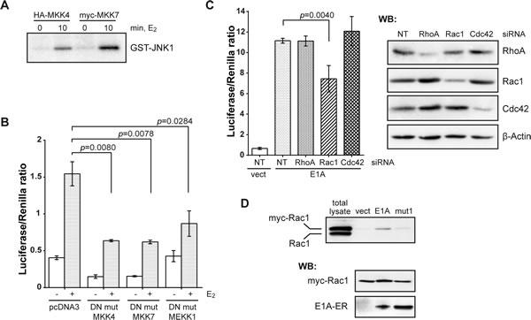 E1A acts upstream of JNK through a Rac1-MEKK1-MKK4/7 pathway.
